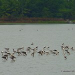 A flock of Painted Storks including young ones.