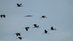 Painted_Storks_in_flight