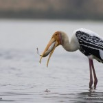 Painted_stork_feeding_on_fish-Coimbatore_big_lake